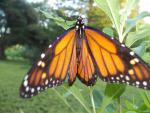 monarch july18 169 - Copy.JPG