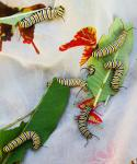 monarch caterpillars 17.jpg