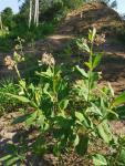 milkweed 02.jpg