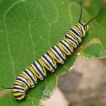 monarch caterpillars 01.jpg