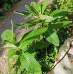 milkweed 05.jpg