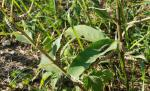 monarch caterpillars 14.jpg