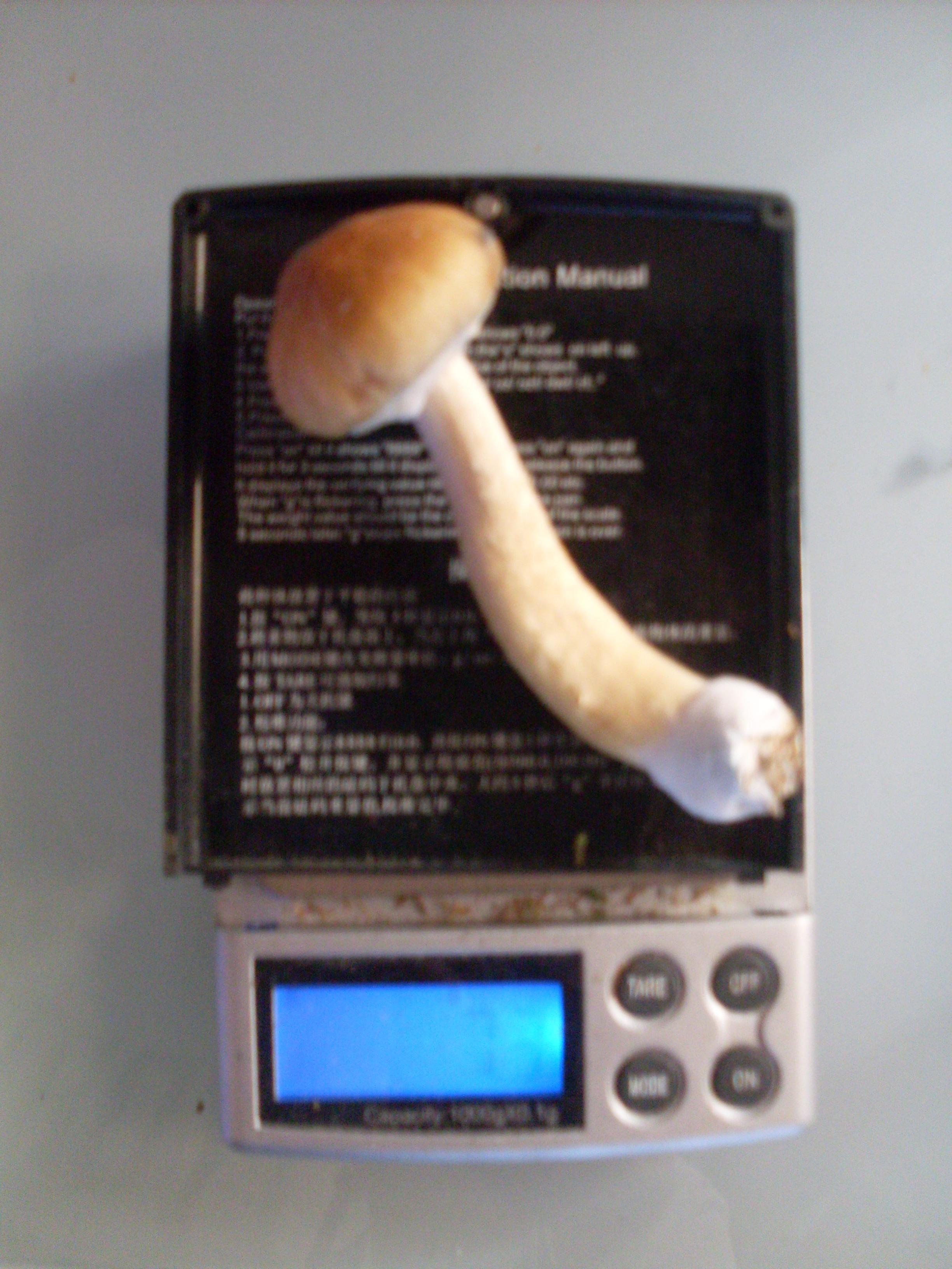 My Golden Teacher grow - PF-tek pint jars - Page 2 - Fungi: Magic