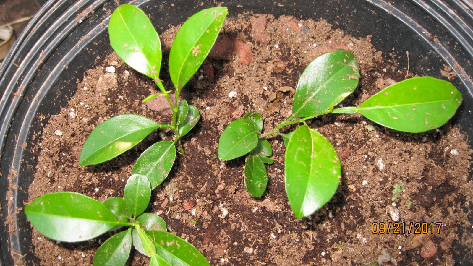 Cloning Basics Grassroots Mycotopia