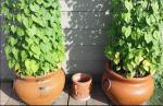 double morning glory planters 17 wide x 15 inch tall with 5 foot round fence.JPG