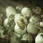 Chick-n-alligators.jpg