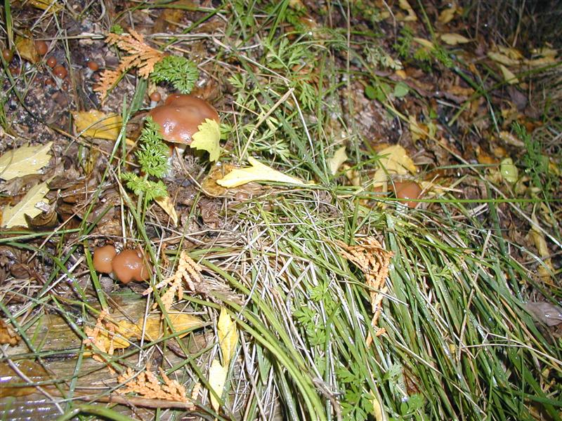 Outdoor Psilocybe Cyanescens project, Northeastern US - Growing