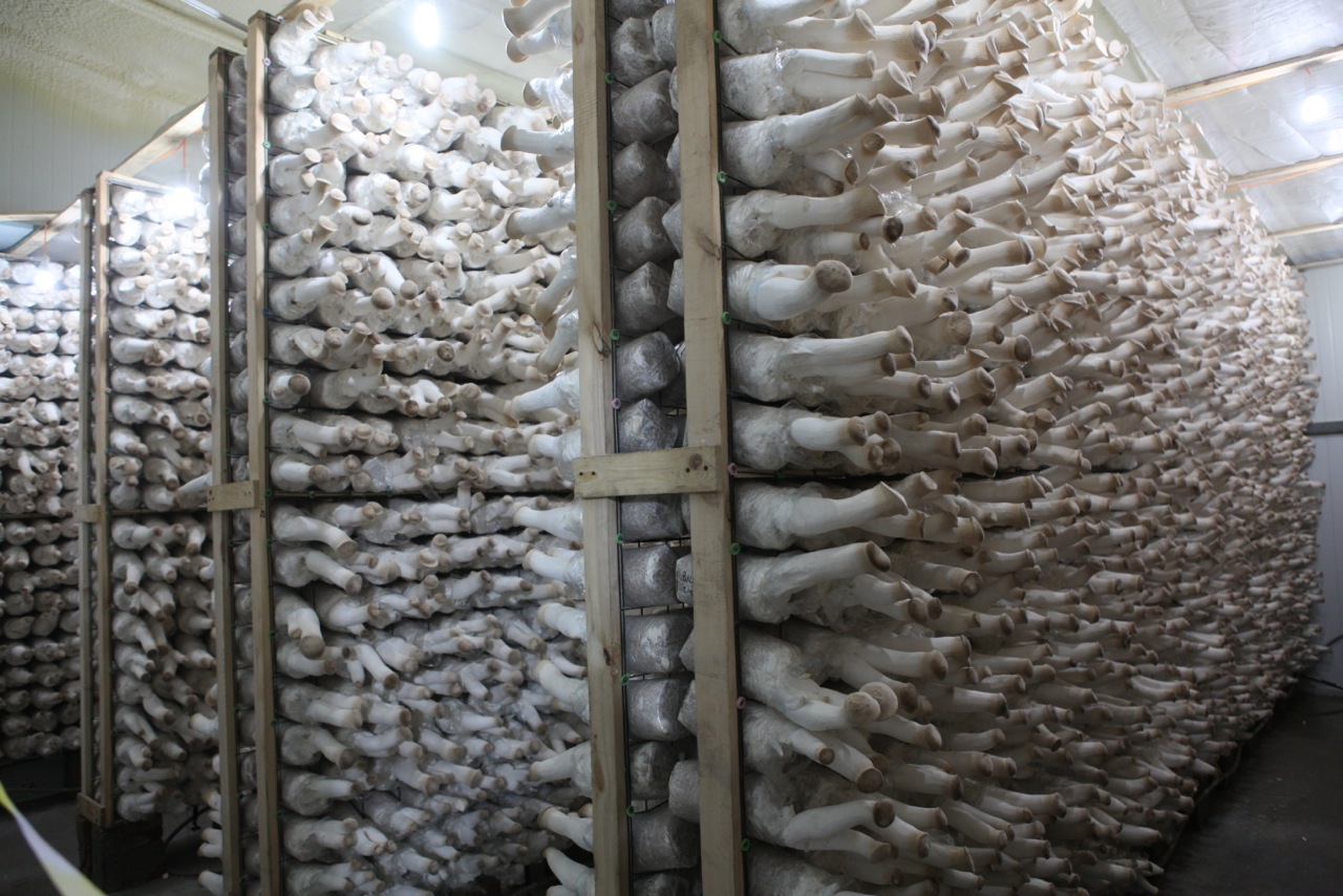 Mushroom Farm In China Fungi Magic Mushrooms Mycotopia