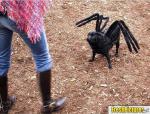 spider pug.jpg