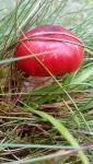 young_russula1.jpg