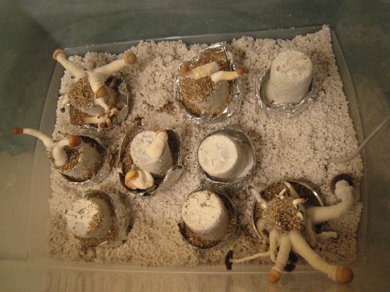 PE on BRF cakes - Fungi: Magic Mushrooms - Mycotopia