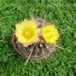 Hamatocactus sinuatus var. papyracanthus.png
