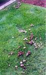 lawnpsstuntzii62.jpg