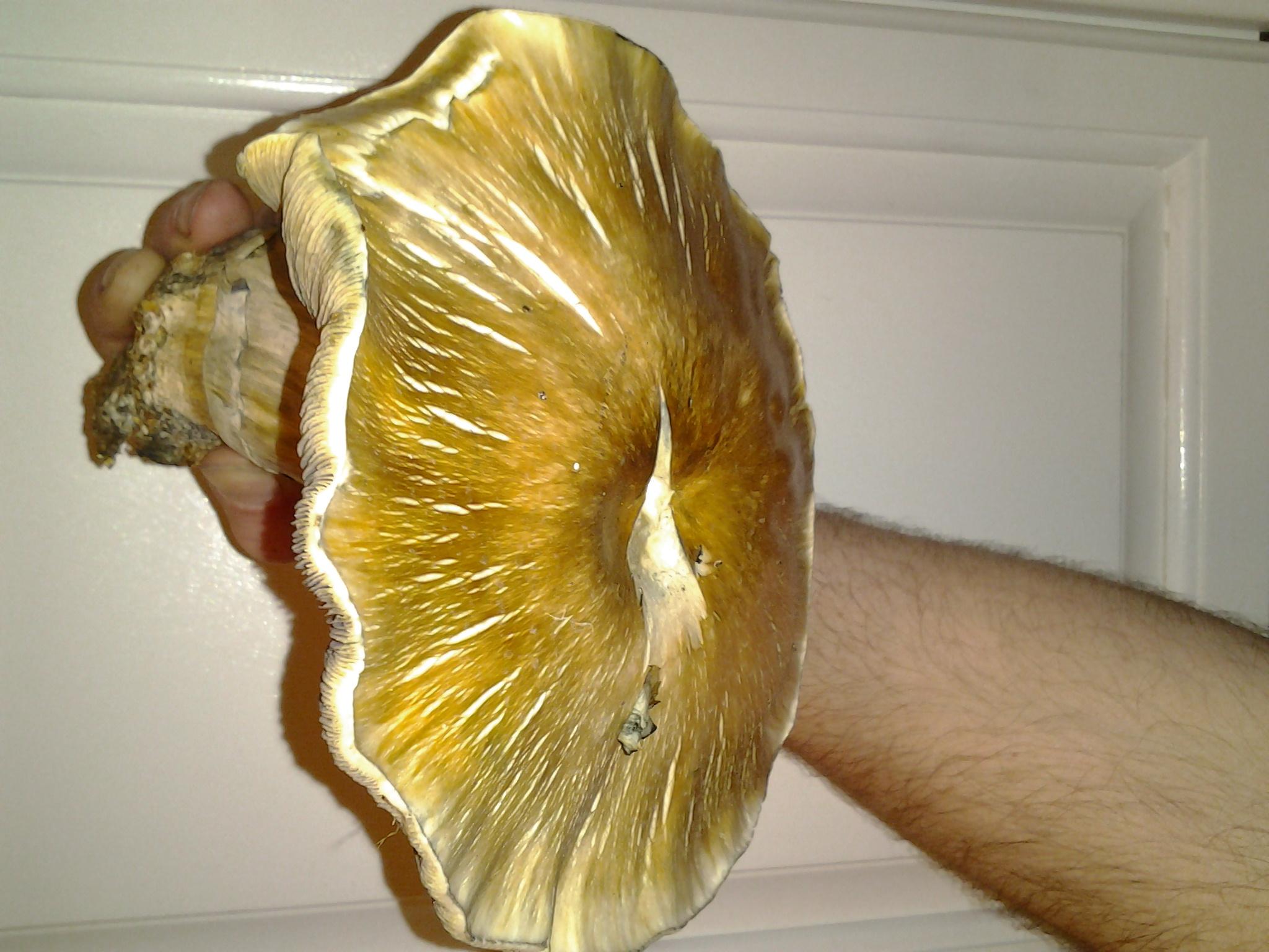 Strains Unique to Mycotopia - Fungi: Magic Mushrooms - Mycotopia