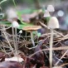 Unusual looking Ps. Cubensis? - last post by Nicked